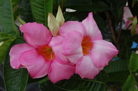 Mandevilla Pink 1 sun parasol 174 mandevilla pink sunfire nurseries