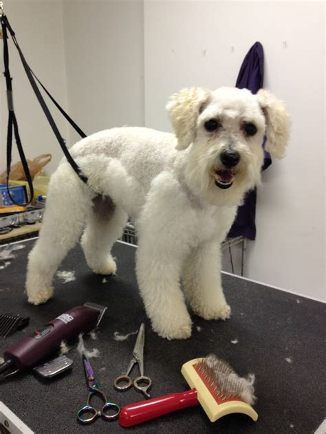 schnoodle style grooming cuts how to cut a schnoodle 17 best images about schnoodle on