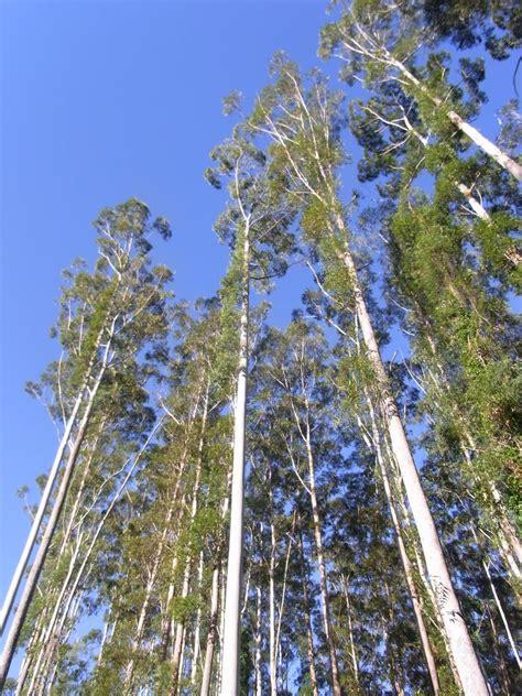 thin tree eucalyptus grandis