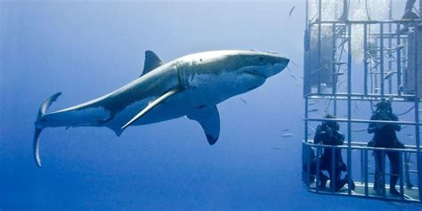 cage dive with sharks here s why cage divers don t become shark bait