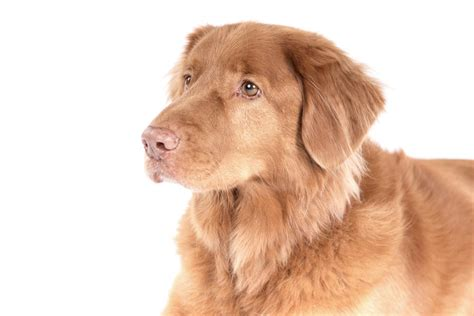 nova scotia duck tolling retriever dog breed information nova scotia duck tolling retriever dogs breed
