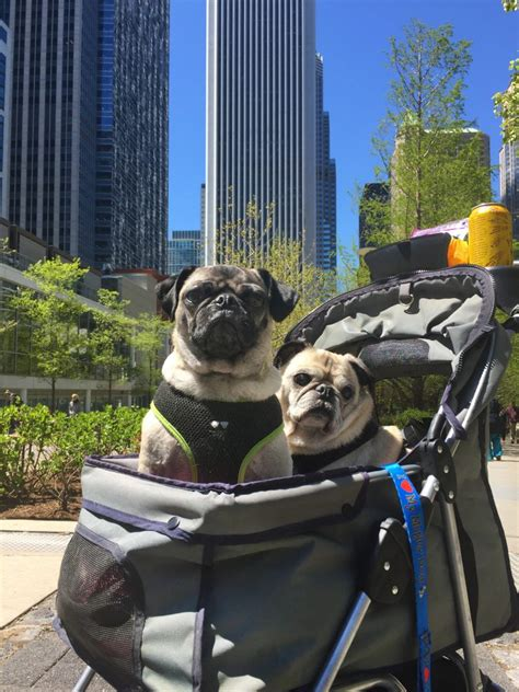 pugs chicago pugs take chicago pugs in the city this pug