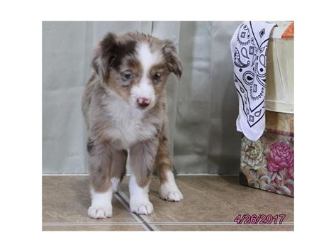 australian shepherd puppies columbus ohio miniature australian shepherd petland carriage place