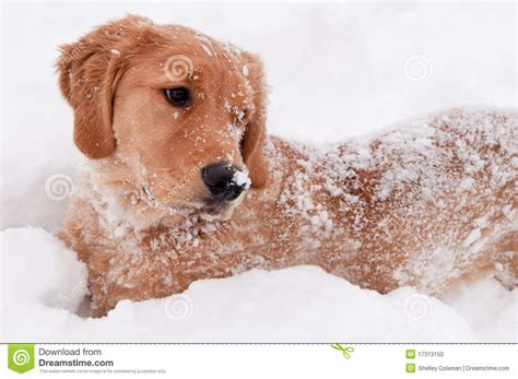 golden retriever puppy in snow golden retriever snow puppy stock photo image 17313150