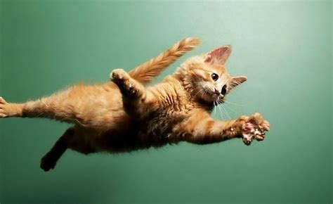 imagenes epicas de animales the 41 most unexpected cat jumps of all time the poke
