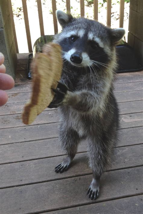 why would anyone want a racoon for an indoor pet legal
