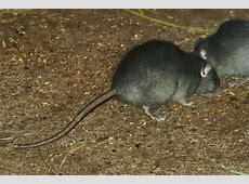 Black rat - Wikipedia Habitat Hamburg