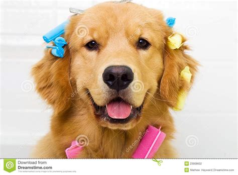 golden retriever hair golden retriever getting his hair done stock photography image 23908602