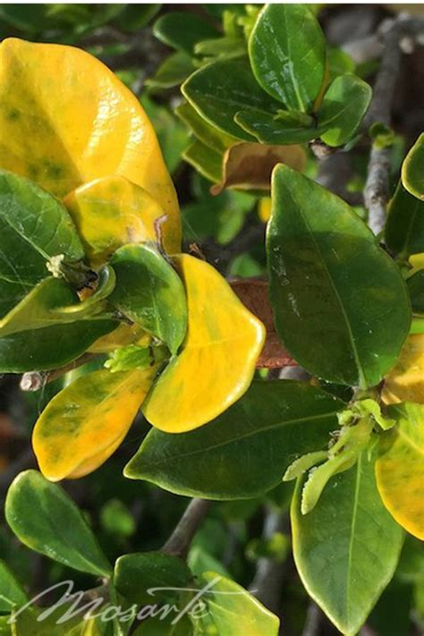 gardenia leaves  turning yellow