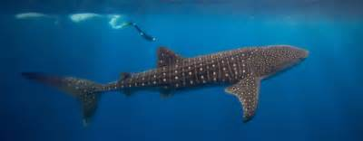 information whale shark nature conservancy