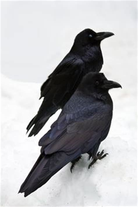 1000 images about be a black raven on pinterest crows