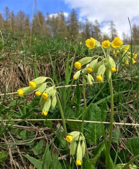 fiori primaverili 3 fiori primaverili sbocciano nei boschi di montagna