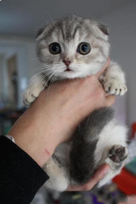 Inidia Cat 44 de 25 b 228 sta id 233 erna om scottish fold kittens bara p 229
