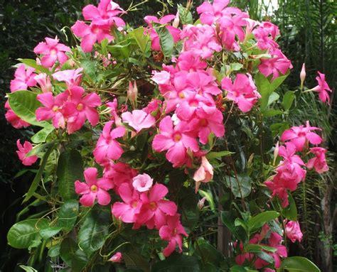 fiori tropicali il giardino delle naiadi fiori tropicali la mandevilla