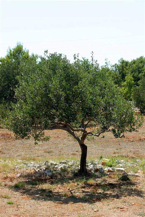 olive tree olive tree
