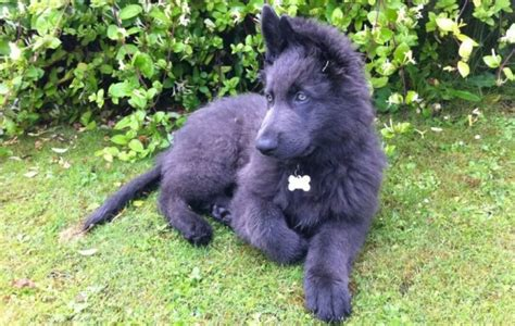 german shepherd puppies with blue american with gray hair hairstylegalleries