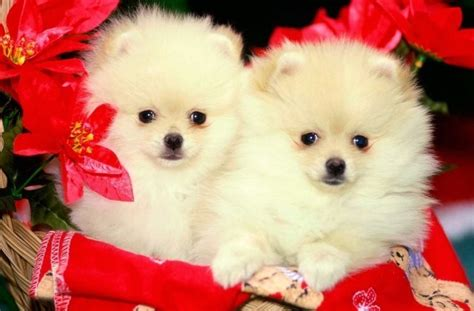 cute puppy dog wallpapers download tag for download cute puppies hd wallpapers good night