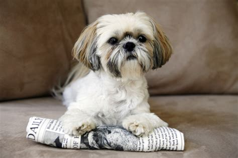 shih tzu temperament spunky 20 small breeds whose faces could melt even the coldest of hearts page 2