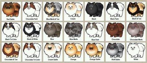 pomeranian fur types burnette s exclusive pomeranians