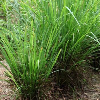 Tanaman Serai Wangi By Bb Plant organic palmarosa essential from sri lanka