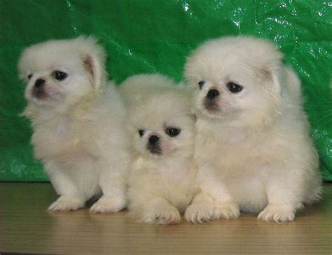 pictures of pekingese puppies puppy pictures 007