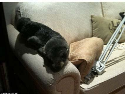 seal on couch baby seal breaks into home mother jones