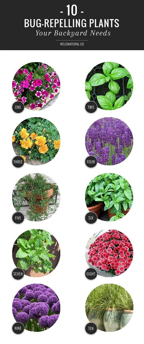 10 bug repelling plants your backyard needs minnesota plants that repel bugs and summer