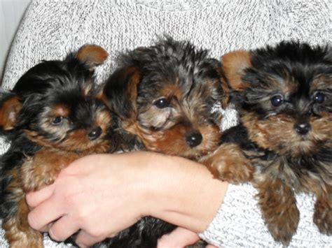 standard size yorkie puppies for sale terrier yorkie puppies for sale from reputable pets world