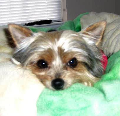yorkie rescue lancaster pa animal browse