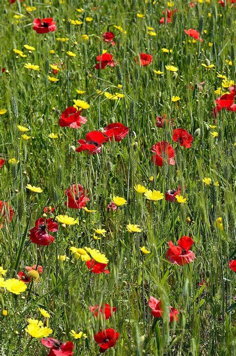 semi prato fiorito prato fiorito juzaphoto