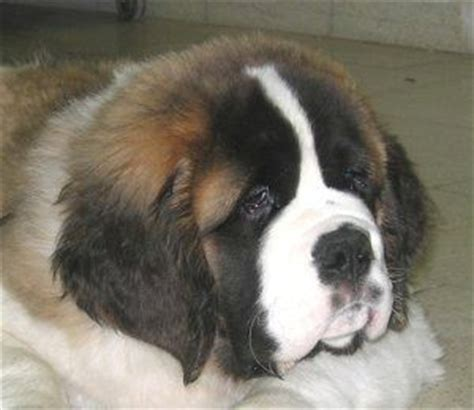 pomeranian puppy for adoption in delhi show quality st bernard puppies available9873262422 for sale adoption from new delhi