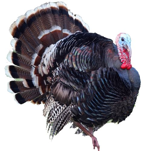 Turkey Search Turkey Transparent Background Images Search