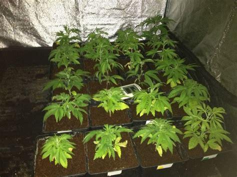 planta marihuana interior cultiva marihuana fuera de temporada