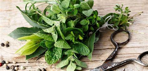 come seminare il basilico in vaso come seminare il basilico in vaso finest le piante