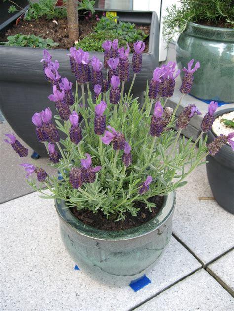 wann pflanzt johannisbeeren lavendel winterhart dunkelblauer lavendel hidcote blue