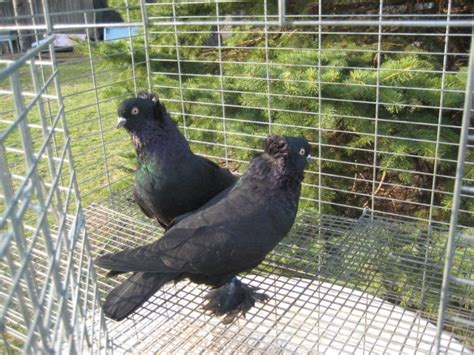 uzbek pigeons pigeon photos album uzbek pigeons