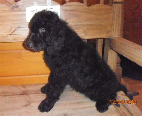 newfoundland poodle mix puppies newfoundland puppies in colorado breeds picture