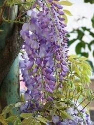 glicine senza fiori glicine senza foglie domande e risposte fiori