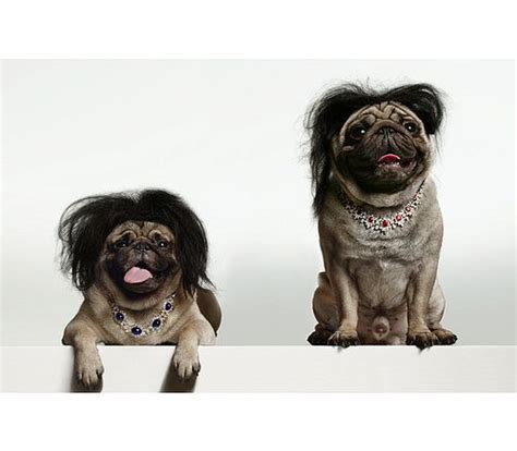 pug with wig 17 best images about pugs in wigs on ja ja ja mullet wig and new haircuts