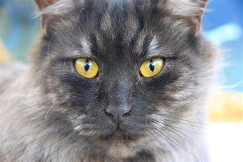 google imagenes de gatos im 193 genes de gatos grises 161 161 las m 225 s bonitas de la red