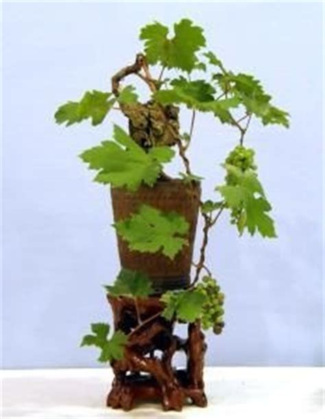 Cabernet Grapevine Bonsai It Or It by 17 Best Images About Bonsai Fruit On Trees