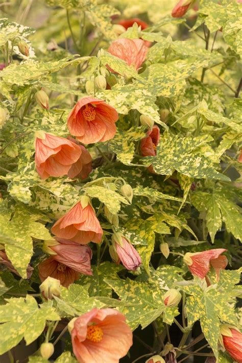 thompsons flowering maple abutilon thompsonii