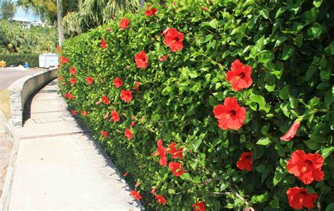 Hibiscus In Planters by Hibiscus Plant How Do I Grow Care Gardening Field