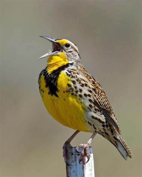 western meadowlark birdnote