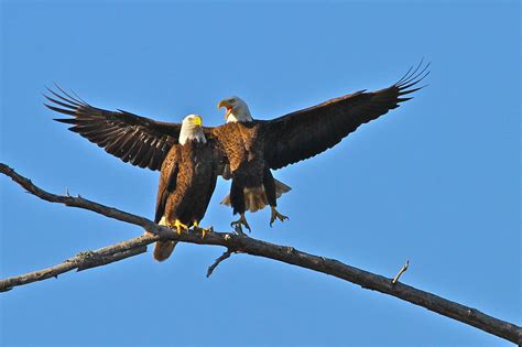 bald eagles mating bald eagle mating pair 2 photograph by carl smith