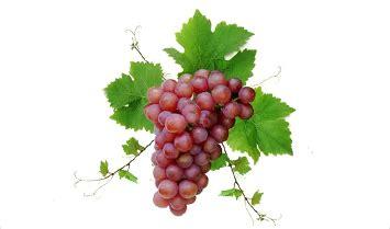 uva da tavola globe uva da tavola eon srl