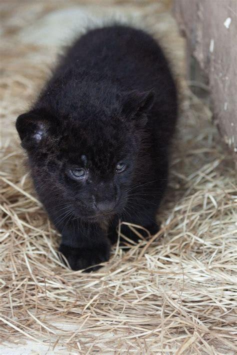 pictures of black jaguars melanistic jaguar baby www imgkid the image kid