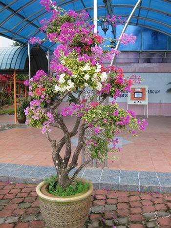 bunga kertas pelbagai warna segalanya tentang tumbuhan