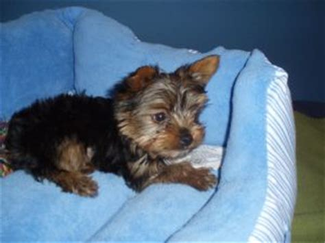 yorkie puppies for sale 300 dollars terrier puppies in