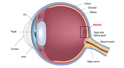 retina diagram what is the macula